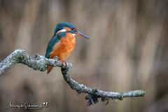 Watching and Waiting (Anthony de Schoolmeester) Tags: kingfisher perch forestfarm cardiff nikon nikond500 nikonafs20050056e wildlife wildbird wildlifephotography waterbirds nature naturephotography