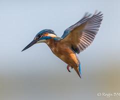 Martin nous fait son show... (Régis B 31) Tags: alcedoatthis alcédinidés commonkingfisher coraciiformes martinpêcheurdeurope ariège bird domainedesoiseaux mazères oiseau vol