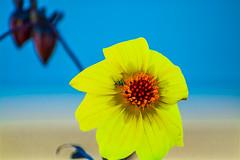 Daisy Bug. (Omygodtom) Tags: contrast sunshine flickr flower abstract art bug bokeh dof d7100 outside 7dwf coth5 nikon70300mmvrlens smugmug macro
