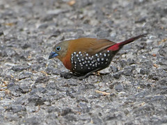 Red-throated Twinspot Hypargos n. niveoguttatus (nik.borrow) Tags: bird twinspot estrildid