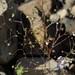 redtip threadplant, Nemacladus orientalis