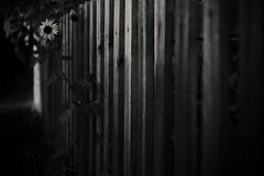 Break the boundaries (Mi-Fo-to) Tags: sunflower girasole confini confine boundaries symbolism nature natura steccato song text testo brano fortunato zampaglione