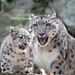 Mom Watching Snow Leopard Kitten
