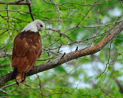 Brahminy Kite (Adult) - Wildlife Sri Lanka (Dunstan Fernando) Tags: bird beautiful birdsofsrilanka srilanka srilankawildlife srilankabirds bundala bundalanpsrilanka bundalasrilanka feathers dunstan dunstanphotography d7000 dunstanfernando brahminykite kite wildlife wildlifesrilanka nature nikon nikkor nationalpark nikkor200500mm outdoor eagle raptor forest haliasturindus redbackedseaeagle