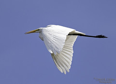 Great Egret flyby (Patrick Dirlam) Tags: birds waterbirds northcounty trips atascaderolake