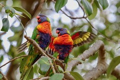 Rainbow couple (Yannick.Daligault) Tags: couleurs canonef70200mmf4lisusm eos australia sydney tree colours nature wildlife oiseaux birds rainbowlorikeet