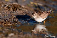 Least Sandpiper Feeding (Let there be light (Andy)) Tags: texas texasbirds shorebirds sandpiper birds esterollanogrande southtexas feeding