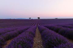 Lavendar lines in Provence (catchapman44) Tags: agriculture canon canon5dmarkiii countryside fields france landscape lavender lines nature outdoors photography plants provence purple season serene summer sunrise trees valensole taking landscapes breathtakinglandscapes