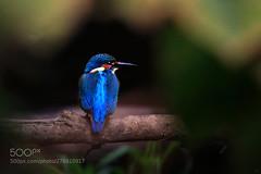 common kingfisher... (KevinBJensen) Tags: tropical exotic avian garden fair weather birdwatching little single ecology delicate ornithology wild wildlife kingfisher common eisvogel linz austria