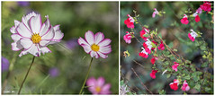 Au jardin, en octobre... (odile lm) Tags: cosmos sauge diptych sage