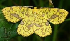 Geometer Moth - Xanthotype (henry jurenka) Tags: geometermoth