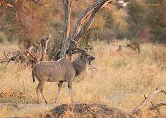 Kudu (sbuckinghamnj) Tags: botswana africa antelope kudu