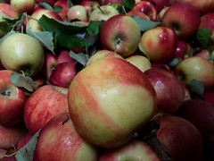 Red Apples 2 (Lux Llama Productions) Tags: barn apple picking fall natick framingham lookout farms family couple 2018 apples many plenty lot hay leaf leaves crate box peach pear plant plants maple trees tree grass grape grapes bench orange picnic red