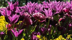 DSC09436 (gael.lebrun56) Tags: fleur colza rape beez flower macro insect lisse zuidholland paysbas nl