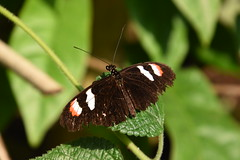 Postman butterfly (Heliconius melpomene plessini) (Frank Berbers) Tags: vlinder schmetterling papillon lepidoptera insect insecta butterfly butterflygarden vlindertuin burgersmangrove tropischevlinders schmetterlingsgarten jardindepapillons tagfalter edelfalter dagvlinder koninklijkeburgerszoo arnhem