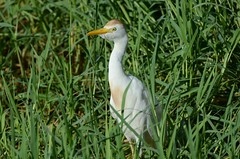 Cattle Egret (Bubulcus ibis) DDZ_7805 (NDomer73) Tags: 27august2018 august 2018 hawaii bird cattleegret egret heron