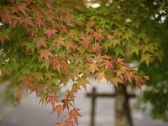色付く | Turn red (wakyakyamn) Tags: leaves japan olympus autumn outdoor