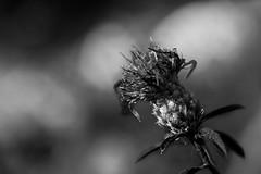 Chardon (Meculda) Tags: fleur flower macro blackandwhite noiretblanc fance blümen blackwhite noirblanc monochrome macrophotography nikon sigma 105mm champs nature trip automn automne