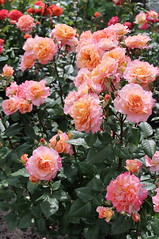 Augusta Luise (mitkinat) Tags: flower flowers blossom roses garden rose