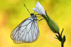 Aporia crataegi (Mascamit) Tags: aporia crataegi pieride lepidottero bassanoromano viterbo lazio natura farfalla farfalle macro