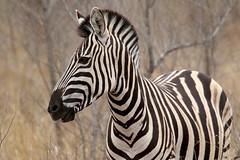 Plains Zebra (Equus quagga) (Ardeola) Tags: plainszebra zebra equusquagga stäppzebra mammal wildlife krugernationalpark kruger southafrica