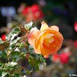 L'important c'est la rose thumbnail