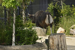 Chester Zoo Islands (128) (rs1979) Tags: chesterzoo zoo chester islands banteng
