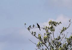 11-12-18-0041916 (Lake Worth) Tags: animal animals bird birds birdwatcher everglades southflorida feathers florida nature outdoor outdoors waterbirds wetlands wildlife wings
