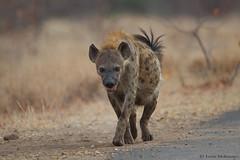 The Mother (leendert3) Tags: leonmolenaar southafrica krugernationalpark wildlife nature mammals spottedhyena ngc npc coth coth5