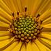 Woodland Sunflower XXIV