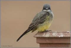 Kingbird 0411 (maguire33@verizon.net) Tags: sanjacintowildlifearea bird kingbird wildlife