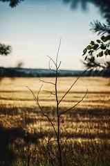 Albiertyn field (zein_eugene) Tags: landscape tree rural scenery sky view vintagelens helios manualfocus nature countryside bokeh folk livefolk folkscenery beauty outdoors thefolknature explore discover moody mood minimal belarus litva