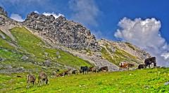 Nebelhorn(2224m) - Milch von glücklichen Kühen (kh goldphoto) Tags: oberallgäu oberstdorf nebelhorn allgäu alpinflora alpengipfel tierweltderalpen alpe alpen alpenpanorama bergblick bergpanorama kuh kühe