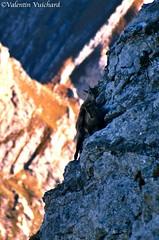 "SF__17_00164 - Little baby ibex, near Vanil Noir, Gruyère region - Switzerland (Valentin Vuichard) Tags: valentin vuichard valentinvuichard vv gruyère fribourgeoises suisse schweiz switzerland préalpes alps alpen mountain mountains berg bergen montagne montagnes prealps voralp voralpen préalpe alpage alpestre paysage country landschaft landscape landwirtschaft canon eos 300v ""canon 300v"" rebel ti"" vanilnoir réservepronatura ibex bouquetins bouquetin bébé vanildelecri chateaudoex rivierapaysdenhaut vaud préalpesvaudoises waadt wildlife sauvage animauxsauvages"