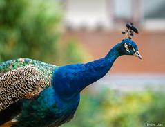 Peacock (✦ Erdinc Ulas Photography ✦) Tags: peacock pauw blue colourful canonef70200mmf4l canon panasonic animal bird green focus smooth background holland netherlands nederland feather eyes detail pavo cristatus cof039dmnq cof039mvfs cof039ally