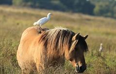 héron garde boeuf (tineandthecats@gmail.com) Tags: héron cheval