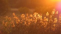 Evening gold 2 (for René Vetter) (ЕгорЖуравлёв) Tags: sun canon october 2018 sunset cane