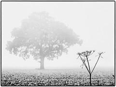 Day 288 Winter draws on (Dominic@Caterham) Tags: sky damp wet mono tree field mist