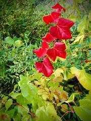 Vid (Vitis vinifera) (quintanAopio) Tags: árbol asilvestrado caderechas bureba burgos autóctono