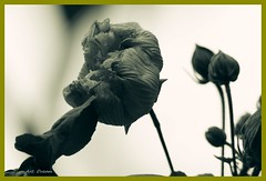 _01A0280 (Dream Delivered (Dreamer)) Tags: nature cottonrosehibiscus cottonrose flower blackandwhite withering
