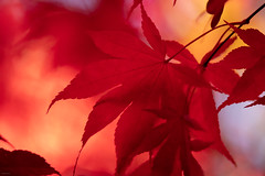 Japanese Maple 1 (josullivan.59) Tags: 2018 artistic bc britishcolumbia buchart canada dof fall tamron150600 vancouverisland abstract autumn backlit blur color colors day detail fallleaves garden lightanddark magenta minimalism nature nicelight outdoor outside red telephoto texture trees wallpaper maple