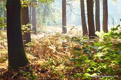 Herbstwald (grafenhans) Tags: sony alpha 68 a68 alpha68 slt minolta af 1750 gegenlicht wald sonne sonnenstrahlen bäume grafenwald bottrop nrw