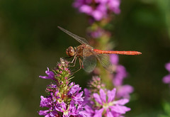 Southern Darter –-- Sympetrum meridionale (creaturesnapper) Tags: danubedelta romania europe odonata dragonflies insects libellulidae southerndarter sympetrummeridionale siteno521