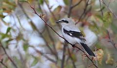 *** Northern Shrike / pie grièche boréale (ricketdi) Tags: northernshrike piegriècheboréale laniusborealis ngc coth coth5