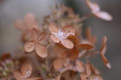 Гортензия - холодность, безразличие, изменчивое сердце так на языке цветов имеет значение гортензия. (Angelok-Happy) Tags: осень снег снежинки сад гортензияnature autumn snow snowflakes hydrangea garden