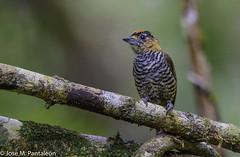 2-LIFER! Aún me quedan decenas de lifers por mostrar de Brasil. Este pequeño carpintero mide apenas 9 cm y su nombre es en honor al ornitólogo Alemán Coenraad Jacob Temminck (1778-1858). (Cimarrón Mayor 16,000.000. VISITAS GRACIAS) Tags: ordenpiciformes familiapicidae generopicumnus carpinteritocuellicanela carpinterodetemminckii macho nombrecientíficopicumnustemminckii nombreinglesochrecollaredpiculet male lugardecapturamorretes morretes paraná curitiba brasil ave vogel bird oiseau paxaro fugl pássaro птица fågel uccello pták vták txori lintu aderyn éan madár cimarrónmayor panta pantaleón josémiguelpantaleón objetivo500mm telefoto700mm 7dmarkii canoneos canoneos7dmarkii naturaleza libertad libertee libre free fauna dominicano pájaro montañas