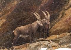 Stambecco (riccardo stra) Tags: capra ibex stambecco wild selvatico neve montagne rocce alpi alpes valle aosta