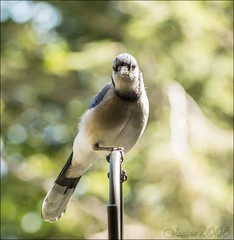 Blue Jay (farradhim) Tags: nature avian bird