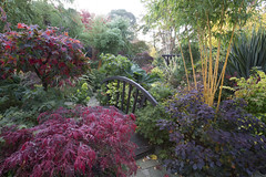 Colours of autumn in our oriental middle garden (Four Seasons Garden) Tags: four seasons garden england english uk walsall colour foliage leaves 2017 deciduous autumn conifer evergreen acers japanese maple marie tony newton red blue yellow green october palmatum