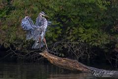 Touchdown (ThruKurtsLens.com) Tags: 2018 kurtwecker nature naturephotographer thrukurtslenscom wildlife wildlifephotographer wildlifephotography